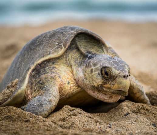 sea turtle - Playa Viva founded La Tortuga Viva in 2010 to protect turtles from predators and poachers alike.