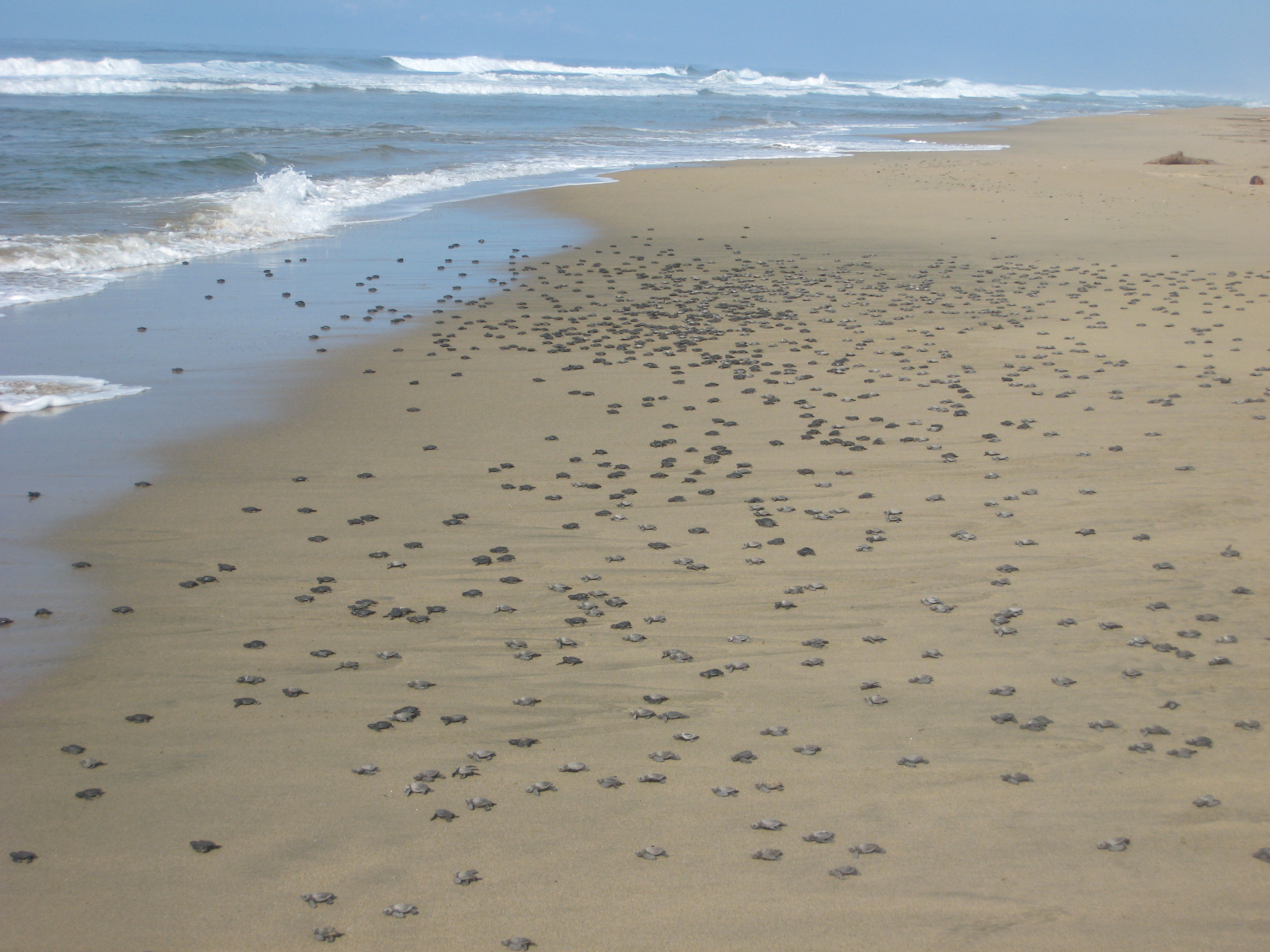 2722 Baby Turtles Being Released at Playa Viva